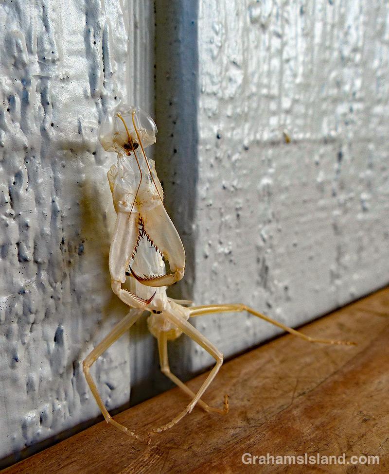 Ghostly mantis