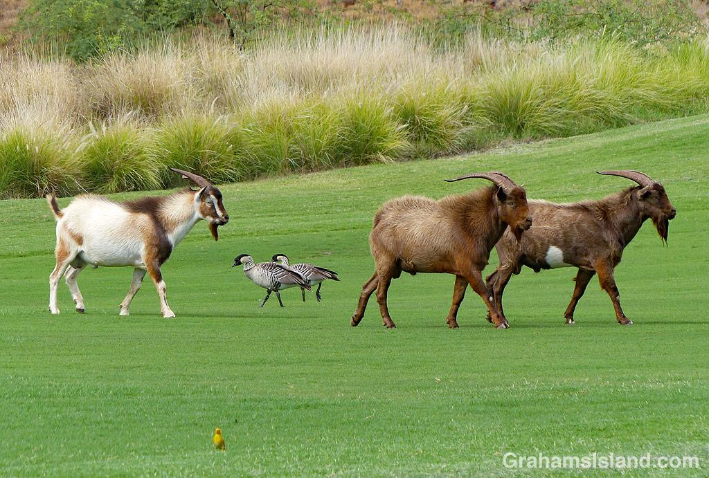 Goats and Nene