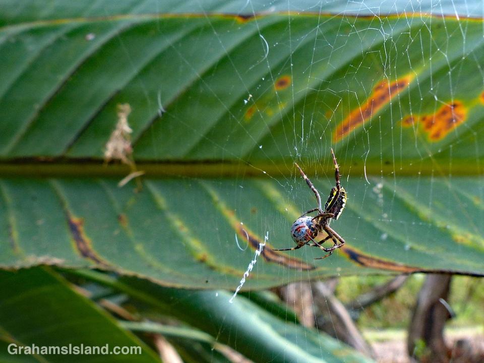 Hawaiian Garden Spider and prey