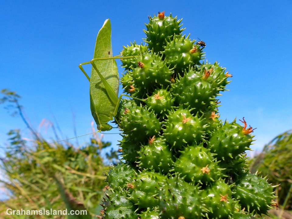 Katydid on castor bean
