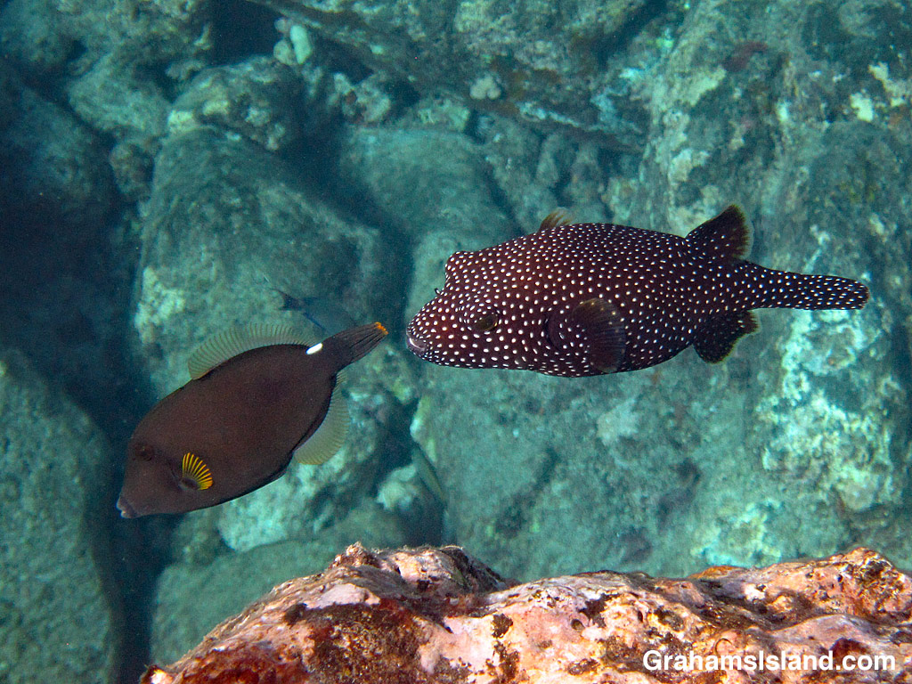 Spotted Pufferfish and Squaretail Filefish