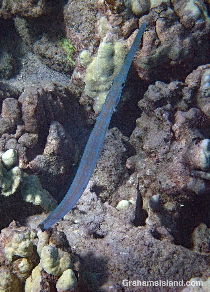 Wounded Cornetfish