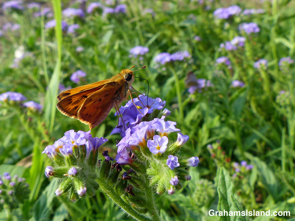 Fiery Skipper Butterfly