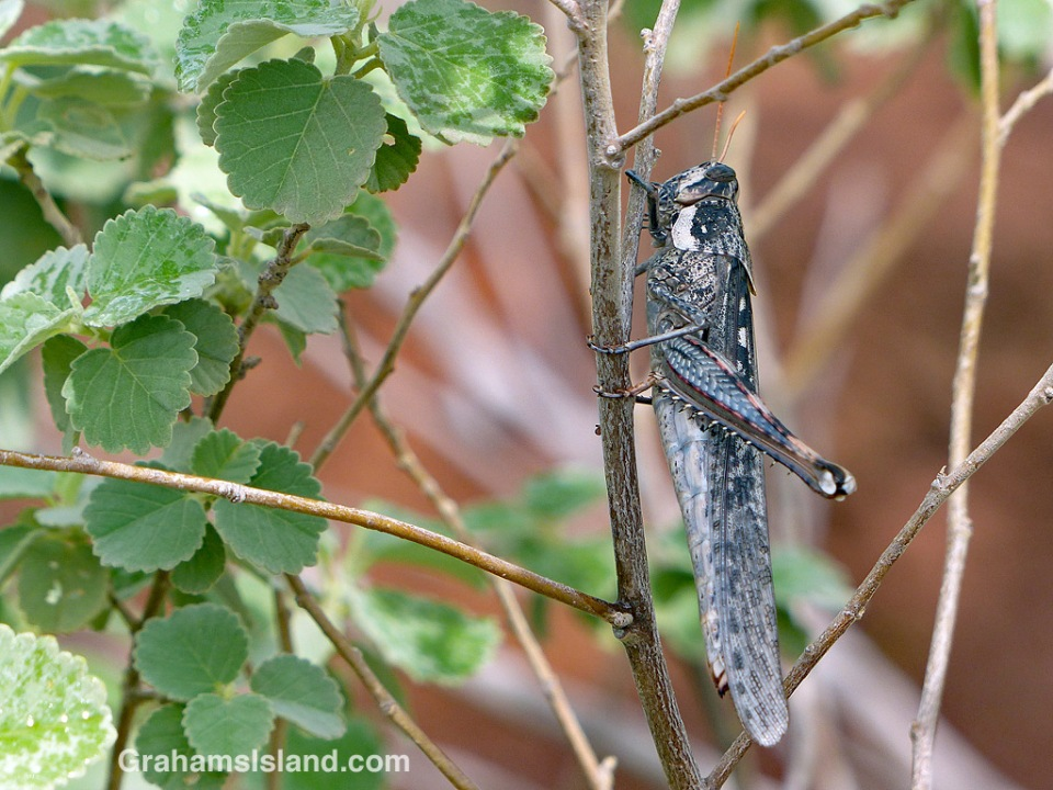 Grasshopper at Lapakahi