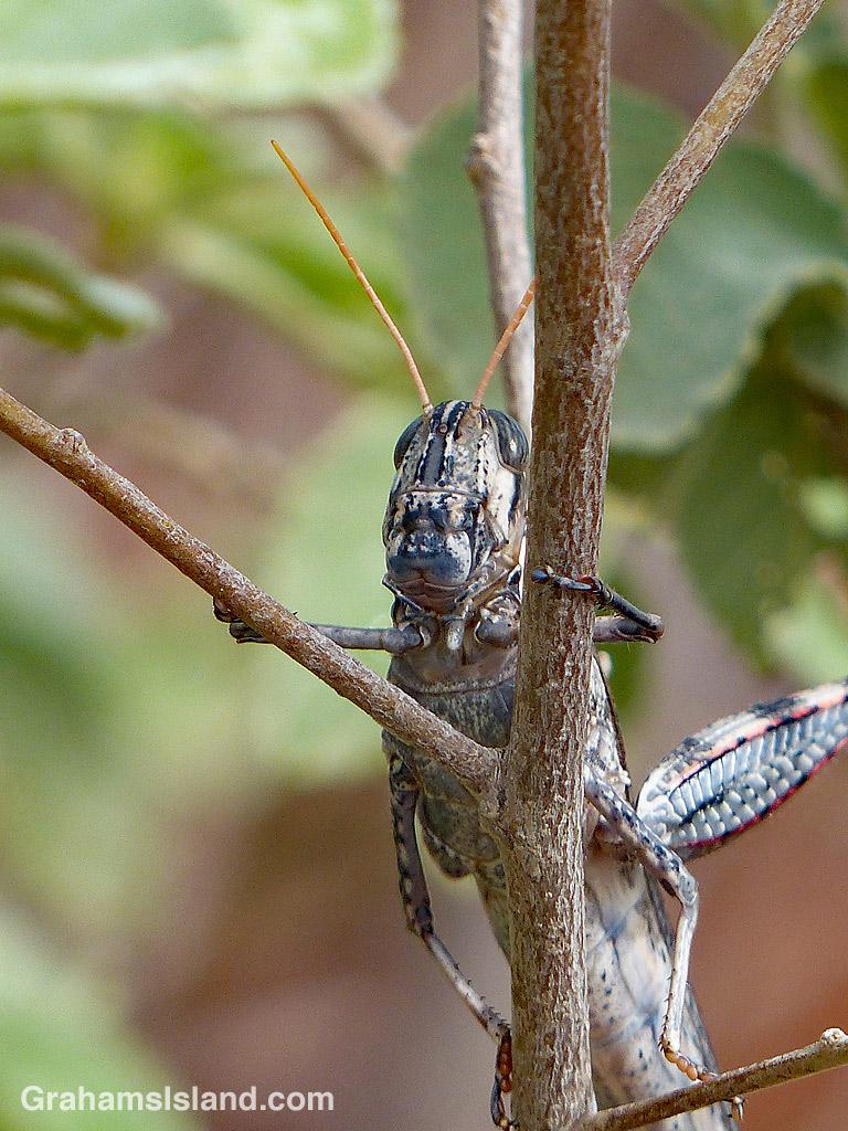 Grasshopper Lapakahi
