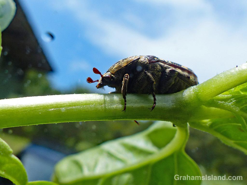 Mango flower beetle