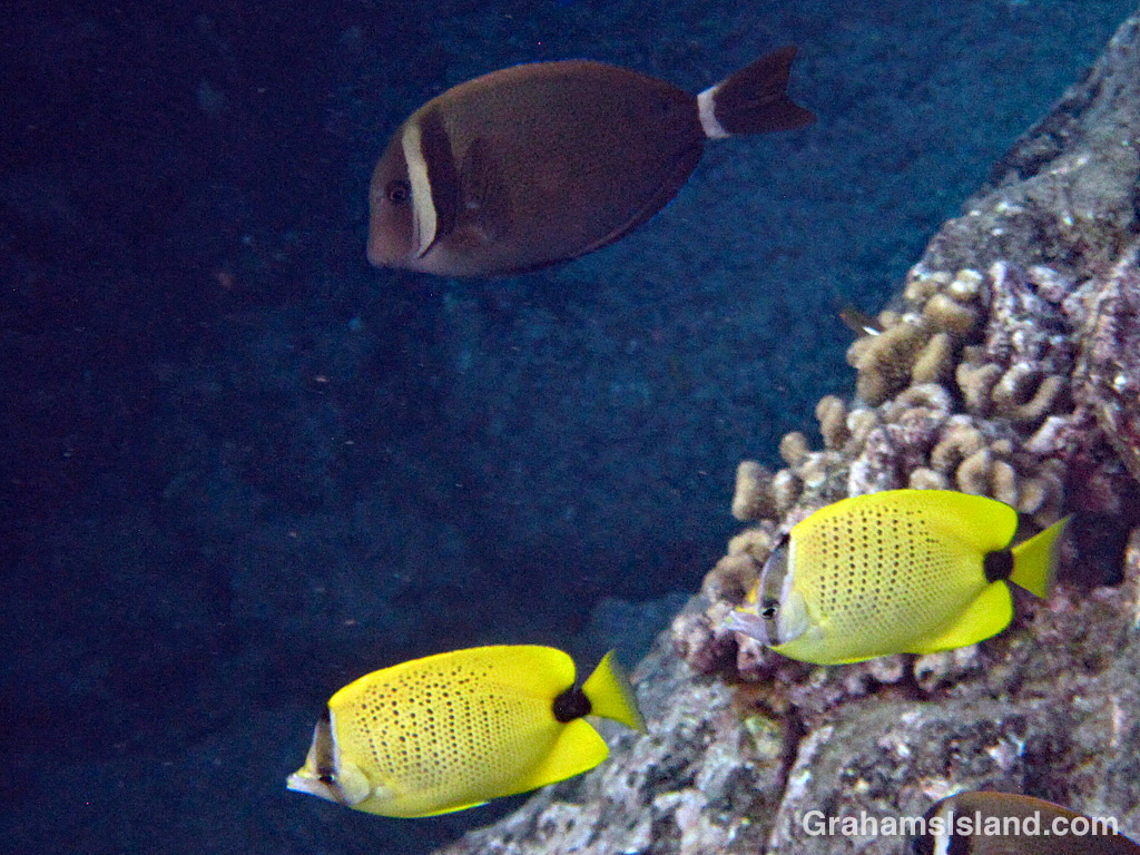 Milletseed butterflyfish and whitebar surgeonfish