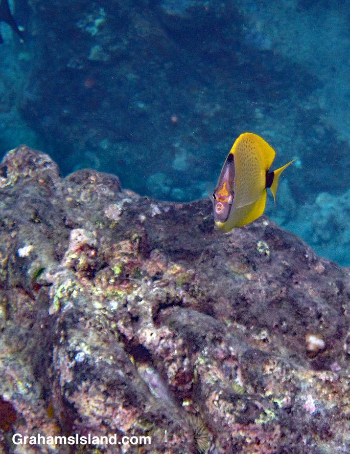 Milletseed butterflyfish