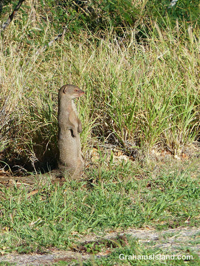 Mongoose surveys the scene