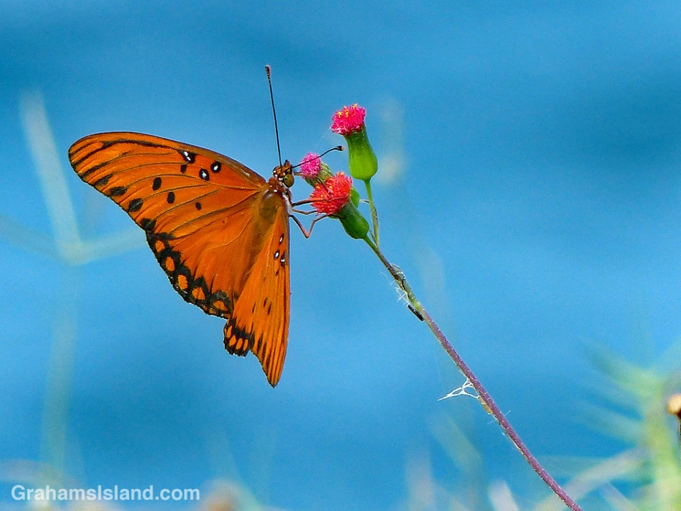 Passion vine butterfly