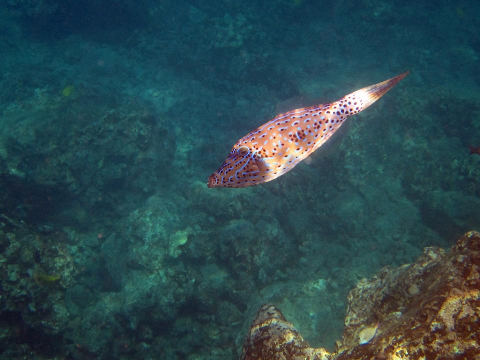 Scrawled Filefish 033018-164