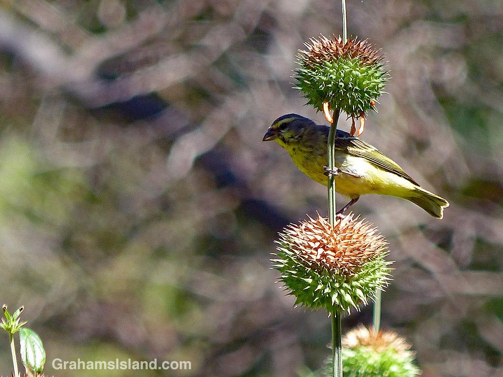Yellow-fronted Canary on Leonotis leonurus
