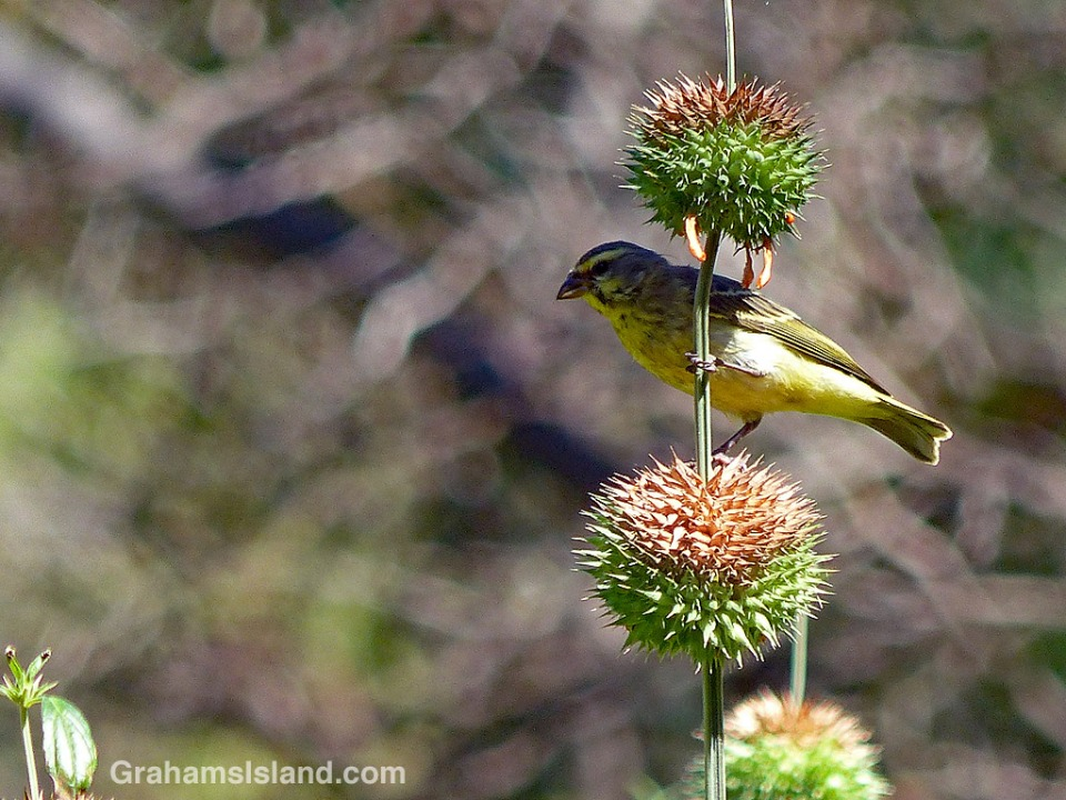Yellow-fronted Canary on Leonotis leonurus