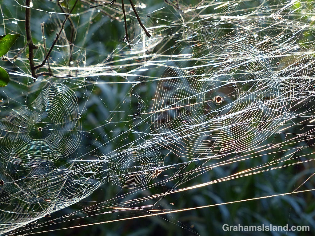 Crab spider webs