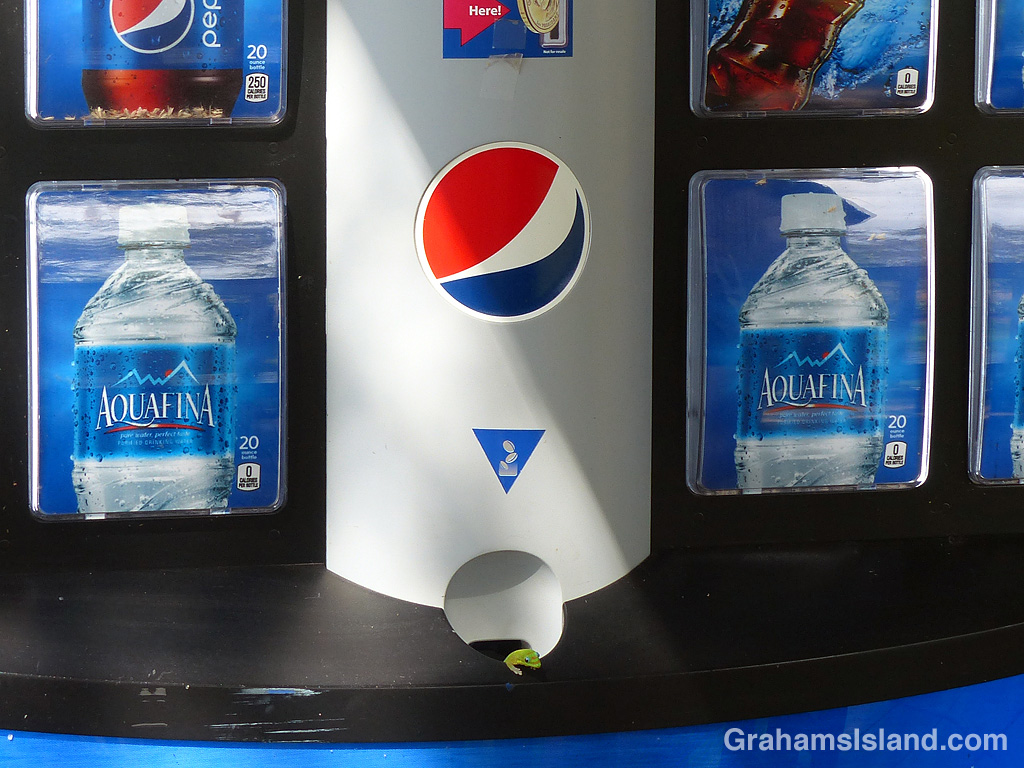 Gecko in Pepsi machine coin slot