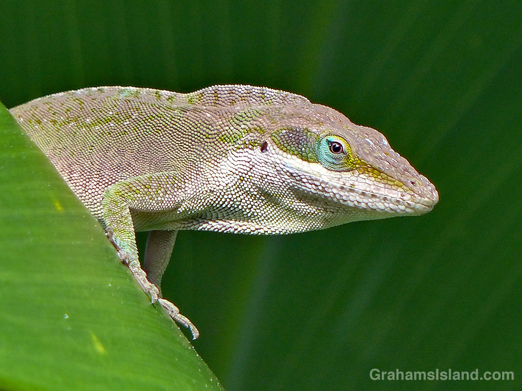 Green Anole Lookout