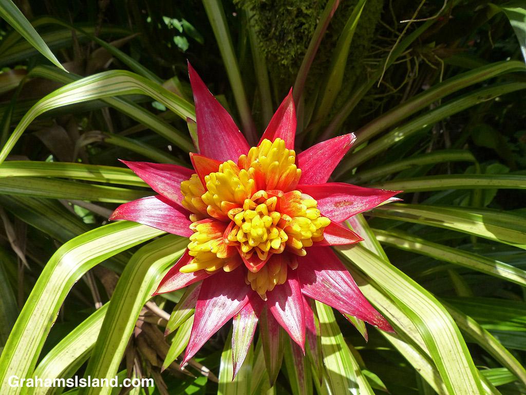 Guzmania 'Limones' flower