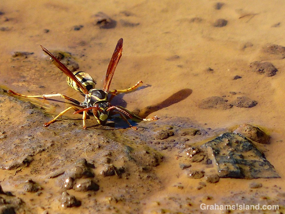 Paper Wasp drinking