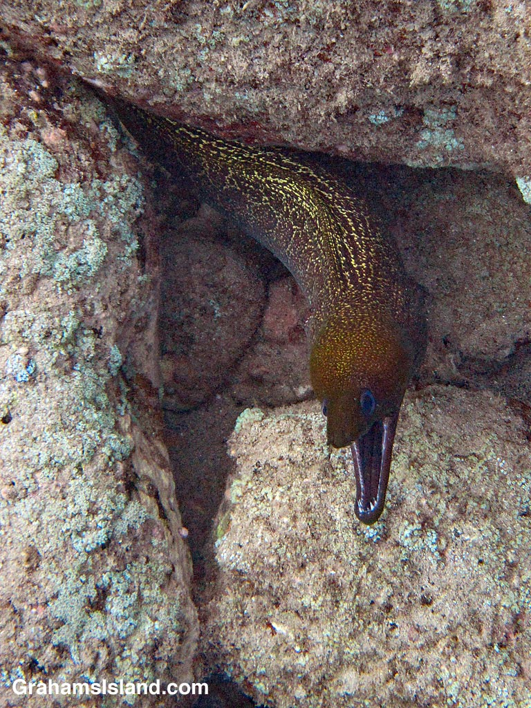 Undulated Moray Eel
