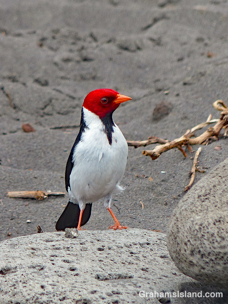 Yellow-billed Cardinal on a rock