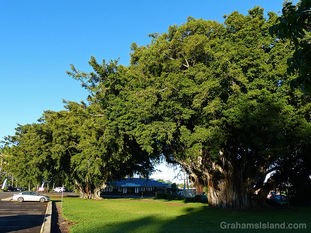 Hawi Banyan trees