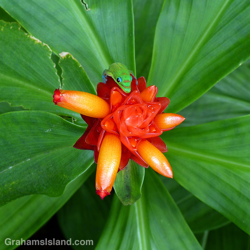 Gecko on Costus curvibracteatus flower