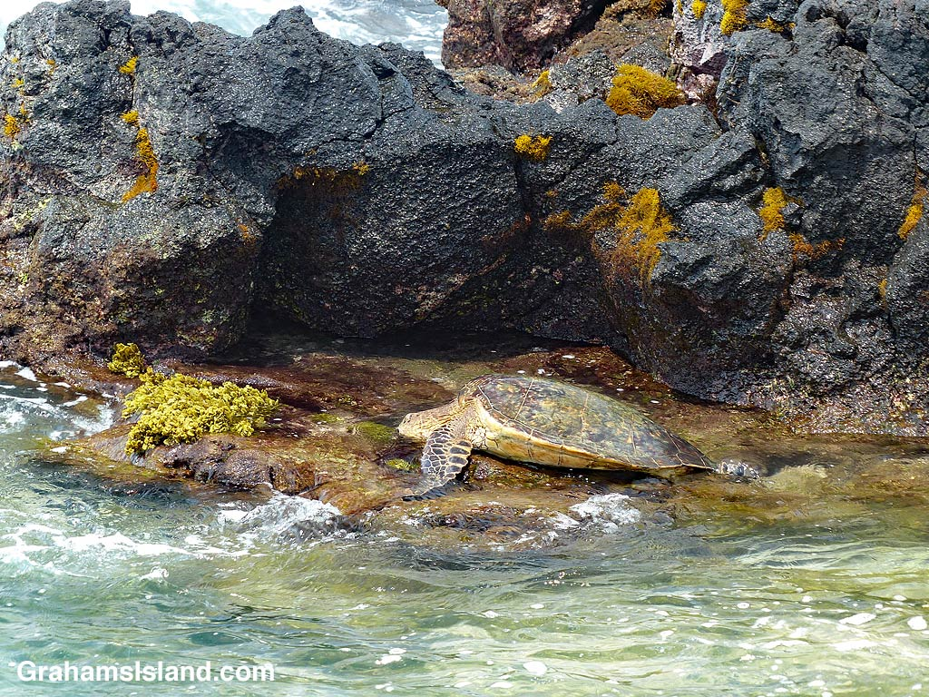 Green turtle and tidepool