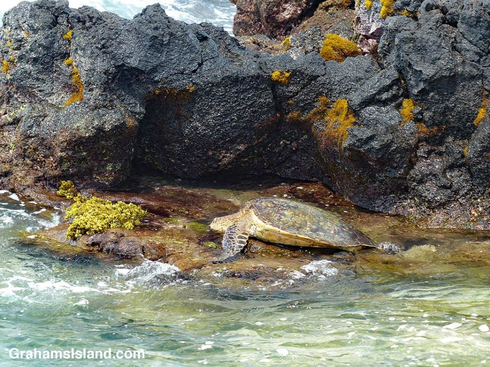 Green turtle and tidepool