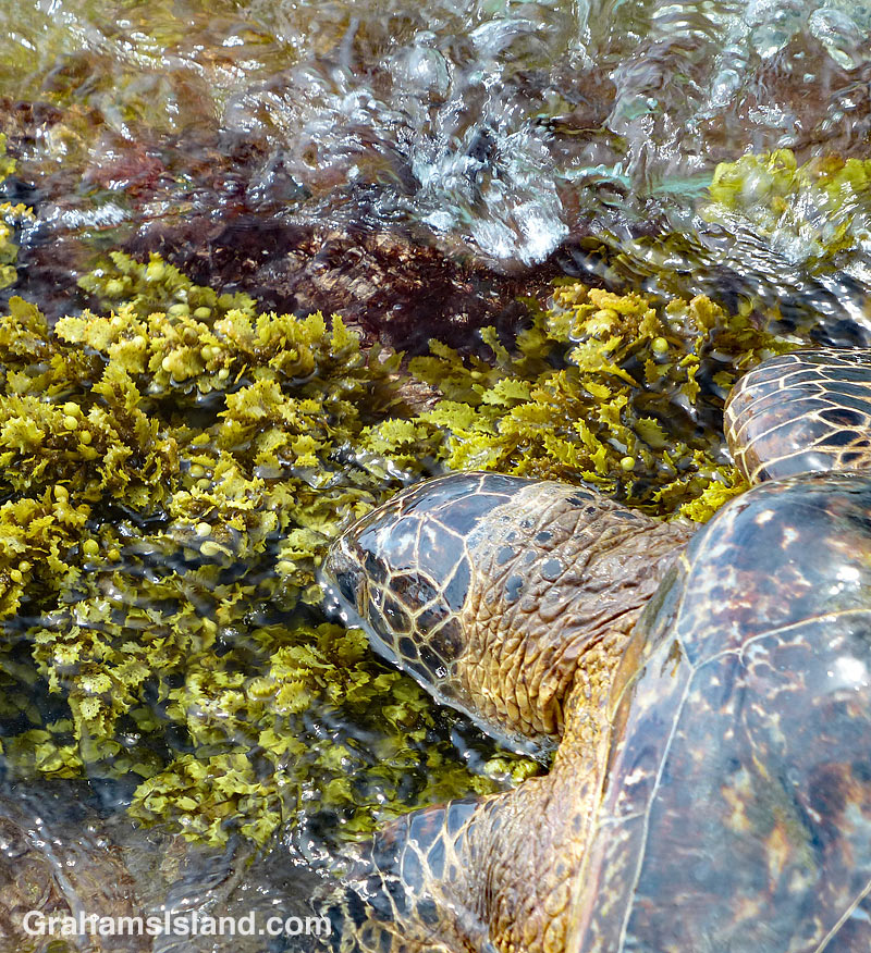 Green turtle feeds