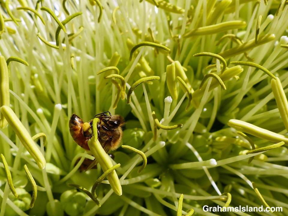 bee in agave attenuata