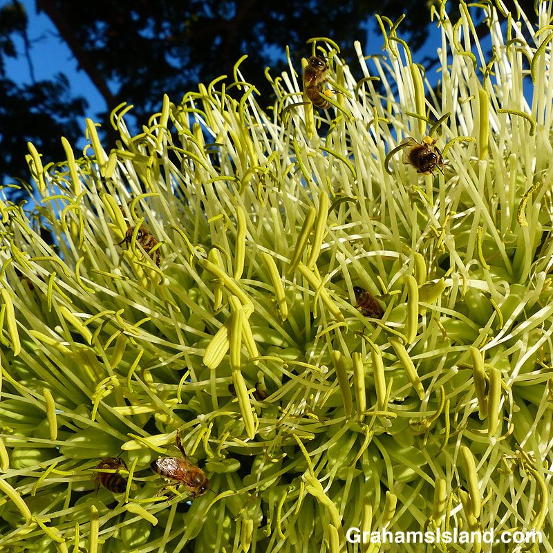 bees in agave attenuata