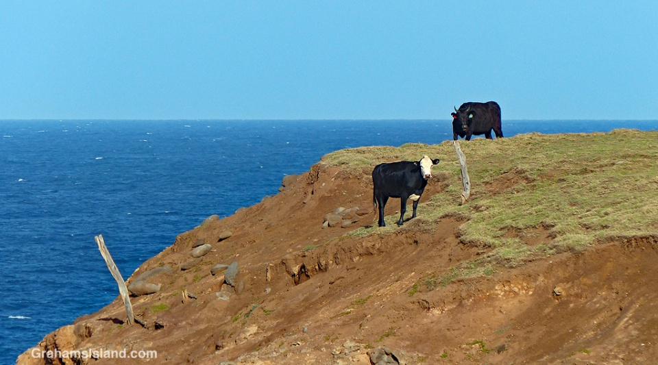 cattle on a cliff edge
