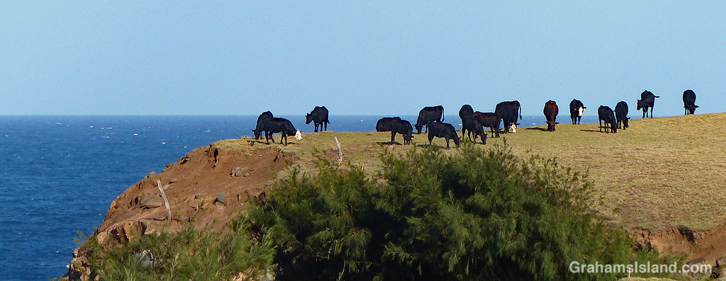 cattle on the edge