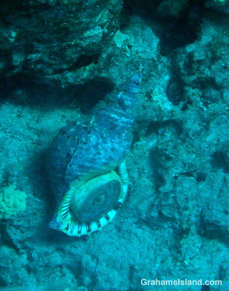 giant triton snail