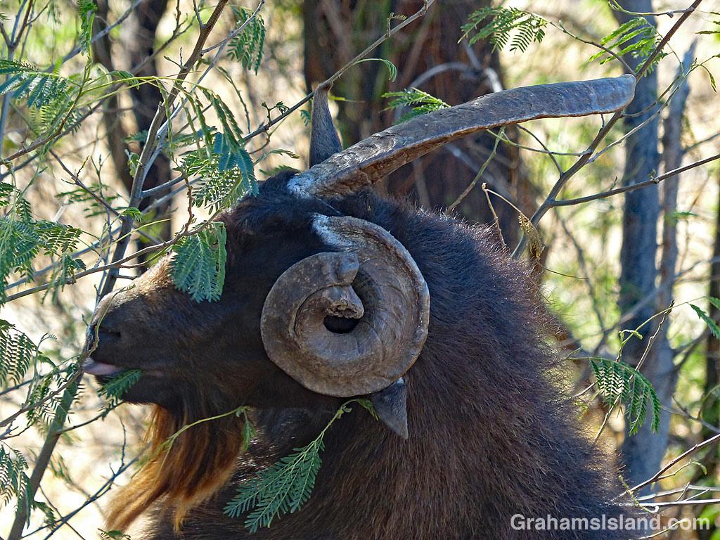 goat with strange horns eating