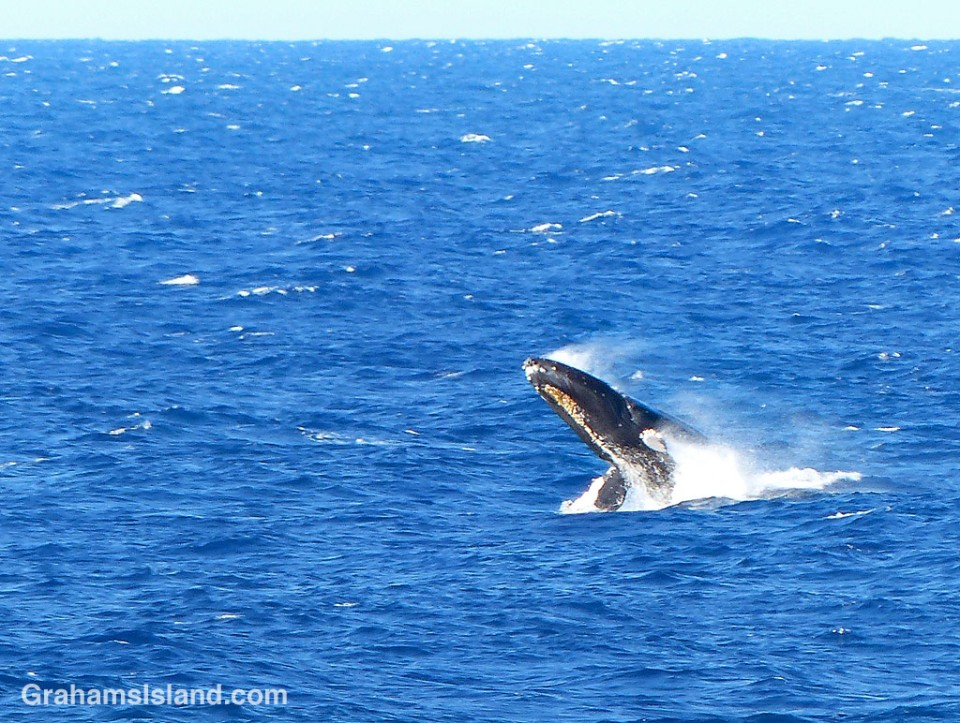 humpback calf breaches