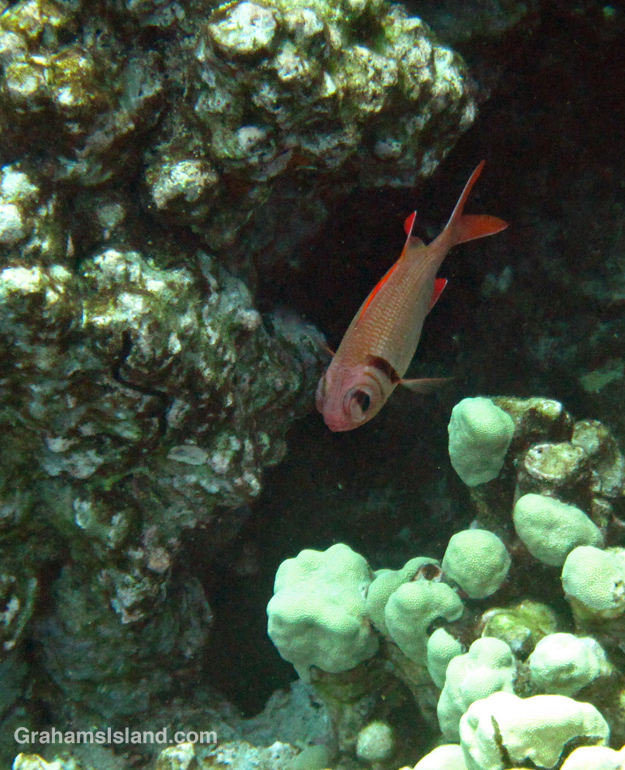 pearly soldierfish individual