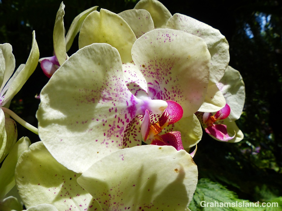 phalaenopsis (chianxen queen x diamond beauty)
