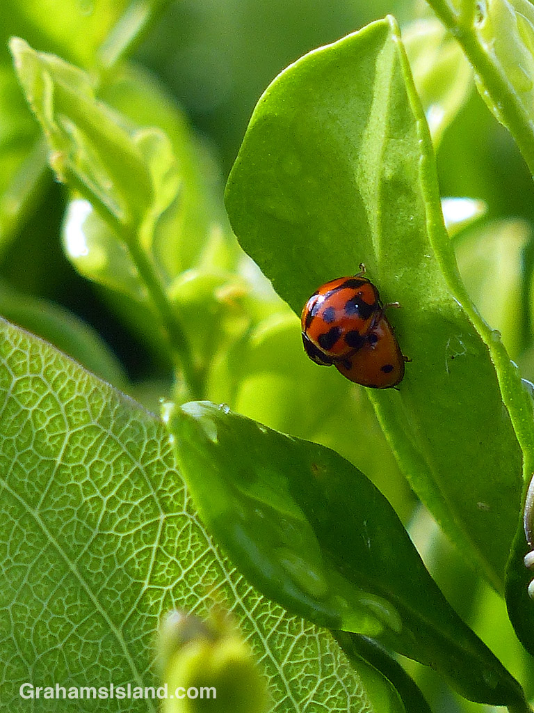 variable and 7-spotted lady beetle