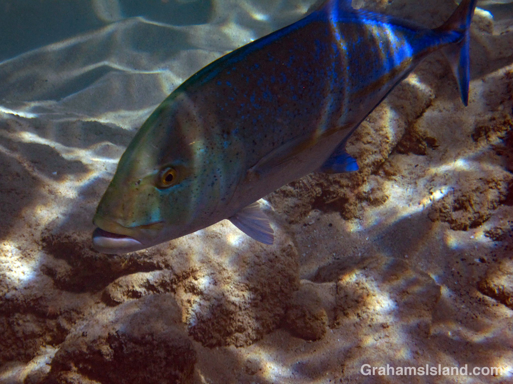 Bluefin Trevally approaching