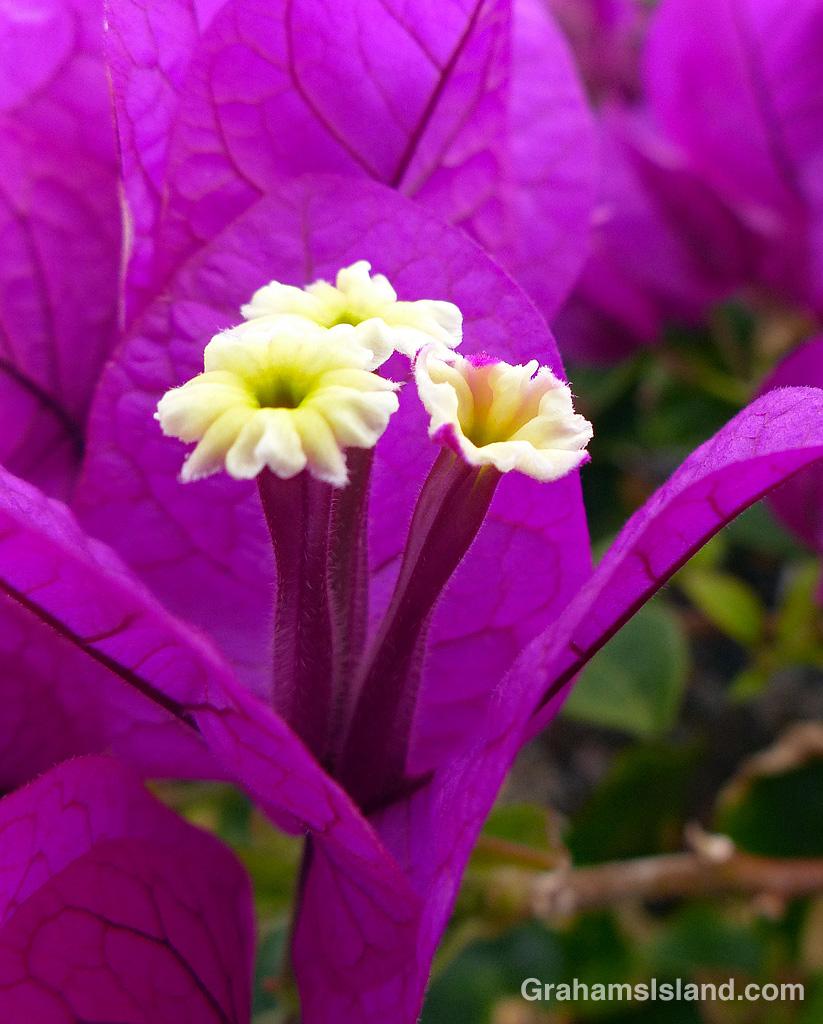 Bougainvillea closeup