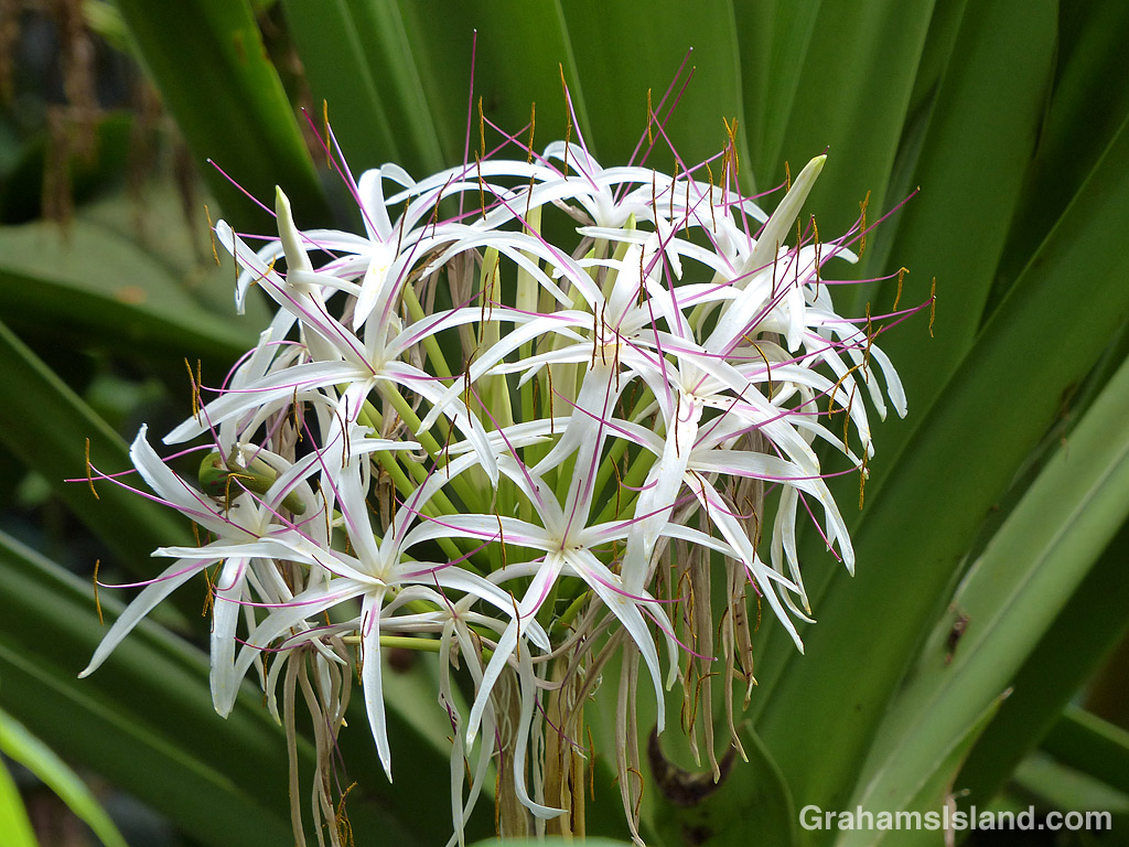 Crinum asiaticum flowers