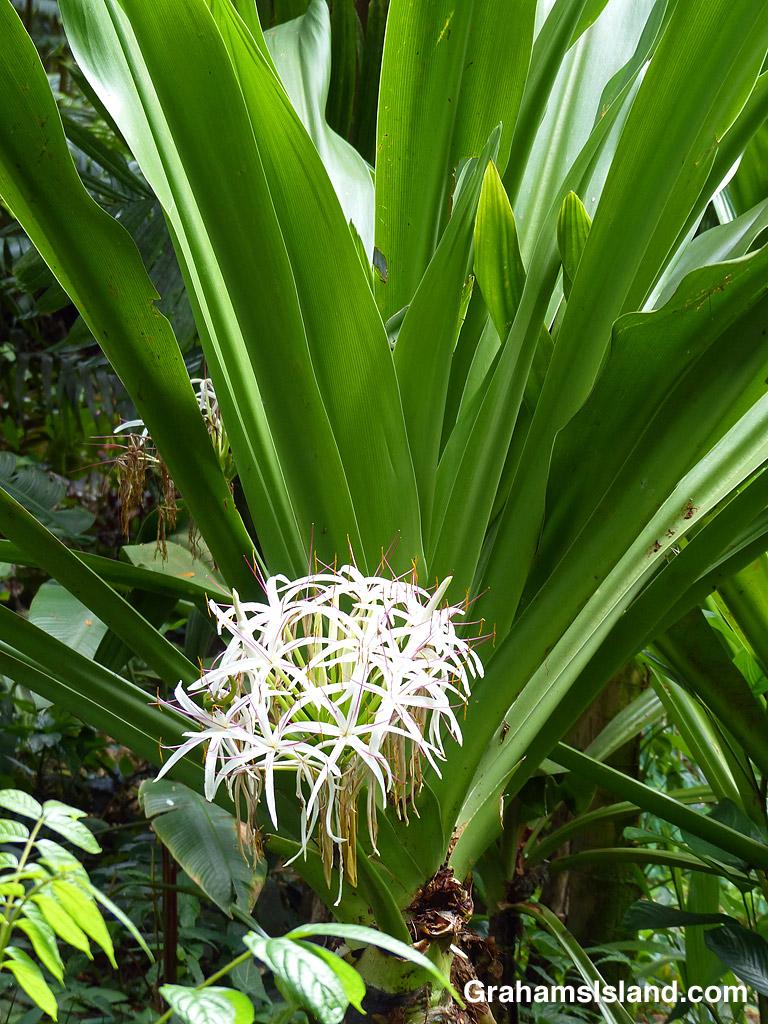Crinum asiaticum plant