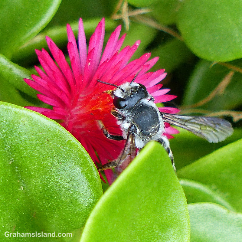 Leafcutter Bee close up