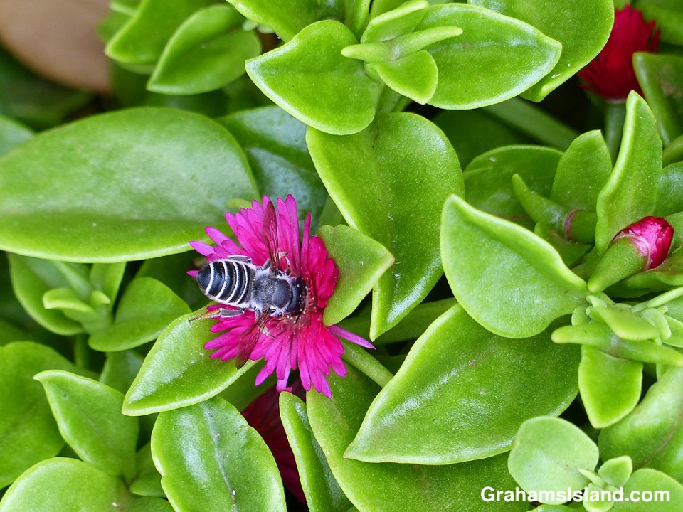 Leafcutter Bee on Aptenia cordifolia