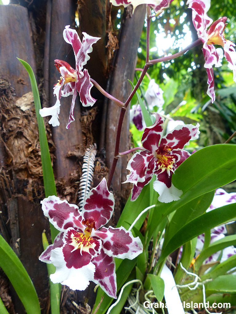Orchid Wils. Castle Issa 'Hilo Bay'