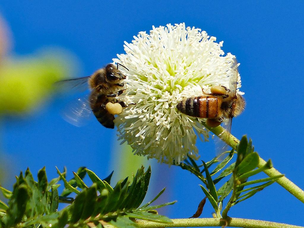 Bees on a haole koa flower