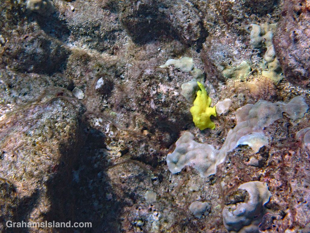 A juvenile Commerson's frogfish in the waters off Hawaii