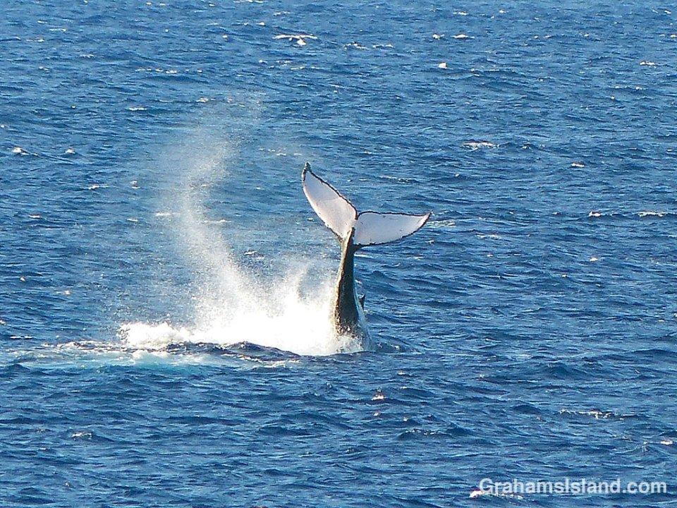 Humpback tail slap