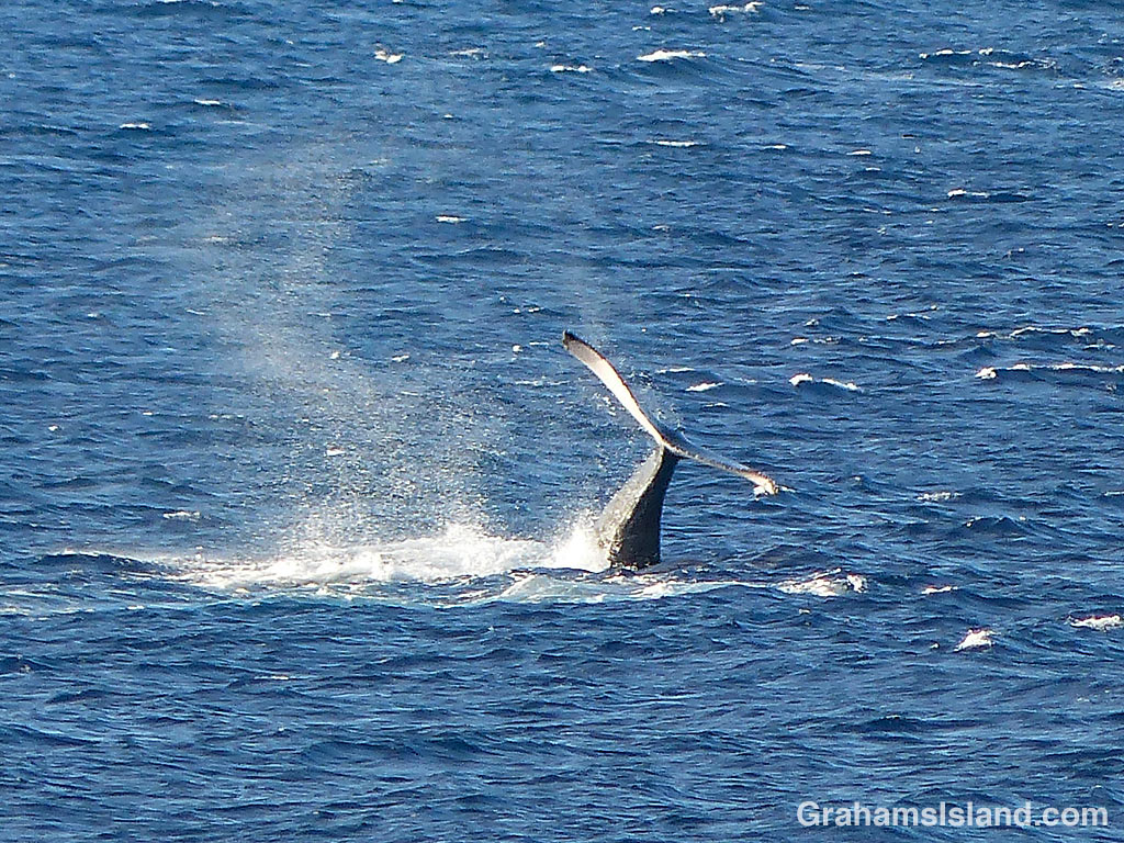 Humpback tail slaps